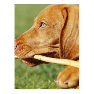 Postal Perrito de Vizsla en parque con el palillo en