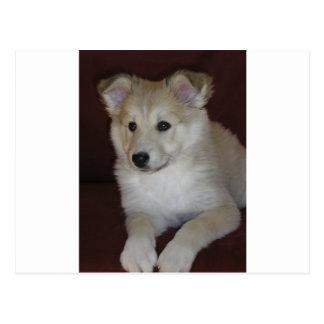 Postal perrito del perro pastor de Shetland