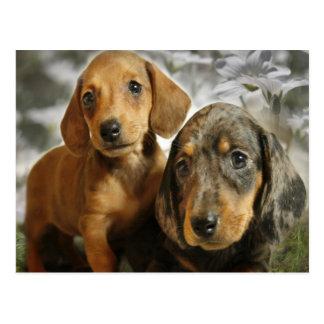 Postal Perritos lindos del Dachshund (Brown/negro)