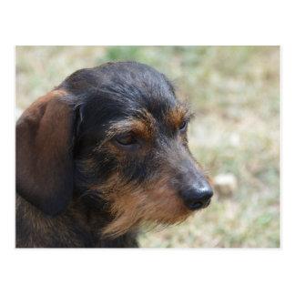 Postal Perro cabelludo de Daschund del alambre