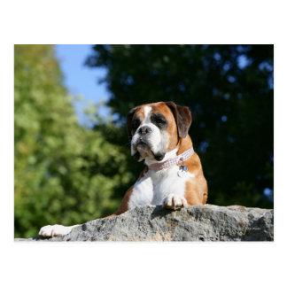 Postal Perro del boxeador que pone en una roca
