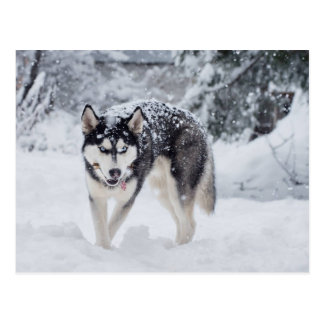 Postal Perro esquimal en la nieve