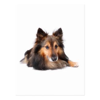 Postal Perro pastor de Shetland, Shetie (Sable) que