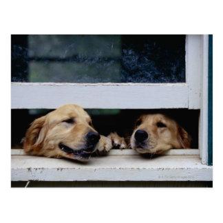 Postal Perros que miran hacia fuera una ventana