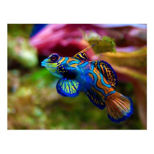 Postal Pescados Synchiropus Splendidus del mandarín