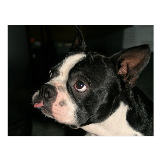 ¡Postal Phhhhhtt de Boston Terrier! Postal