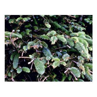 Postal Picea de florecimiento de Sitka