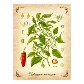 Postal Pimienta de chile - ejemplo del vintage