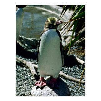 Postal pingüino Amarillo-observado