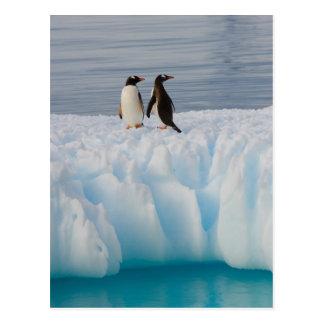 Postal pingüino del gentoo, Pygoscelis Papua, en el hielo