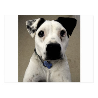 Postal Pitbull Terrier blanco y negro lindo