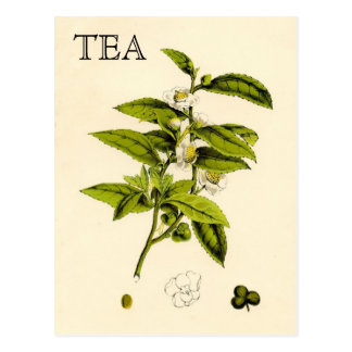 Postal Planta de té del vintage