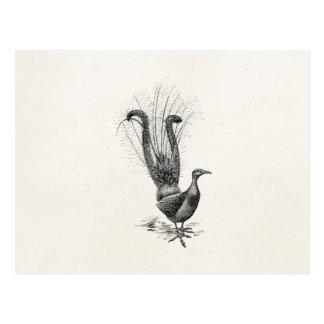 Postal Plantilla del ejemplo del Lyrebird del pájaro del