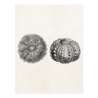 Postal Plantilla espinosa de la antigüedad del erizo de