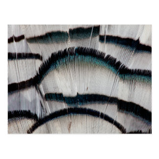 Postal Plumas de plata del faisán