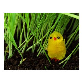 Postal Polluelo de Pascua