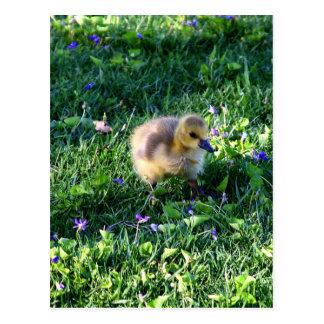 Postal Polluelo del ganso de Canadá en hierba con las