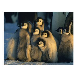 Postal Polluelos del pingüino de emperador en la