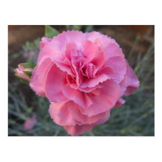 Postal Postal--Clavel rosado