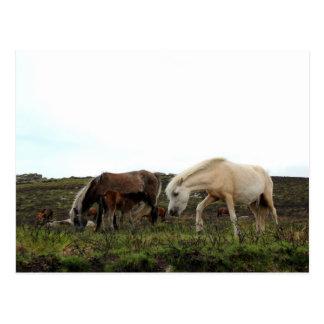 Postal Potros salvajes de Dartmoor