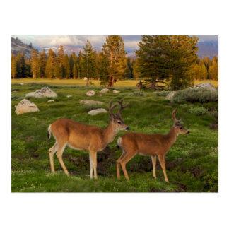 Postal Prado de Tuolumne, Yosemite