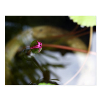 Postal Primera vista/Lotus de florecimiento