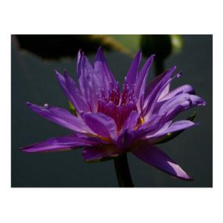 Postal púrpura de Lotus Waterlily