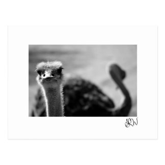 Postal Questionings de la avestruz