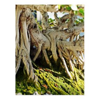 Postal Raíces del árbol de los bonsais del Banyan del
