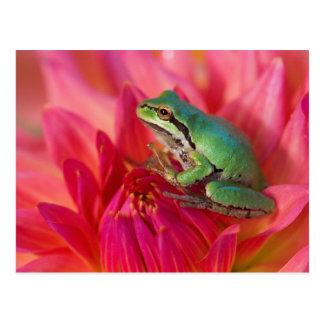 Postal Rana arbórea pacífica en las flores en nuestro
