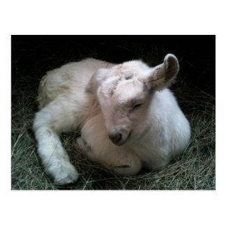 Postal recién nacida del niño de la cabra