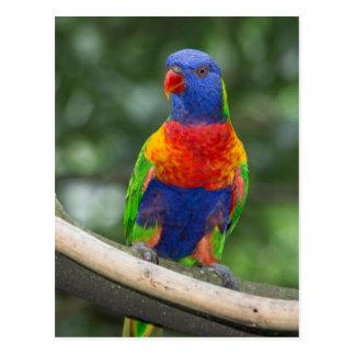 Postal Retrato de Lorikeet del arco iris