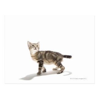 Postal Retrato del gatito blanco que mira para arriba