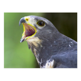 Postal Retrato del halcón del chacal (Buteo Rufofuscus)