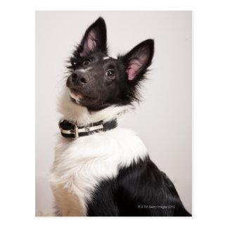 Postal Retrato del perro pastor de Shetland blanco y