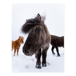 Postal Retrato islandés del caballo, Islandia