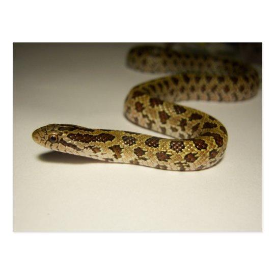 Postal Rey serpiente de la pradera