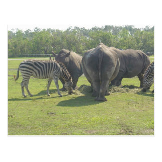 Postal Rhinos y cebra Chowing abajo