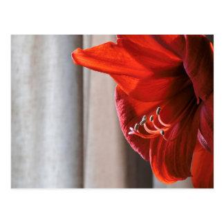 Postal roja de la foto de la flor del Amaryllis