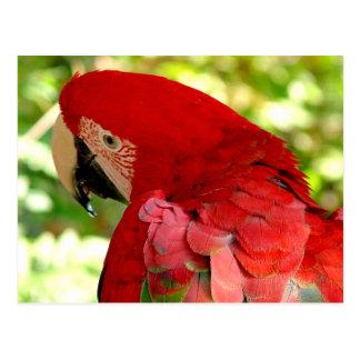 Postal roja del loro del Macaw