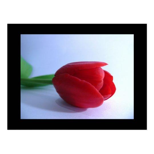 Postal roja del tulipán