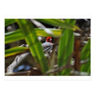 Postal roja hawaiana del pájaro