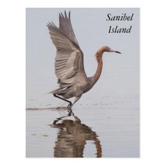 Postal rojiza del Egret de Sanibel