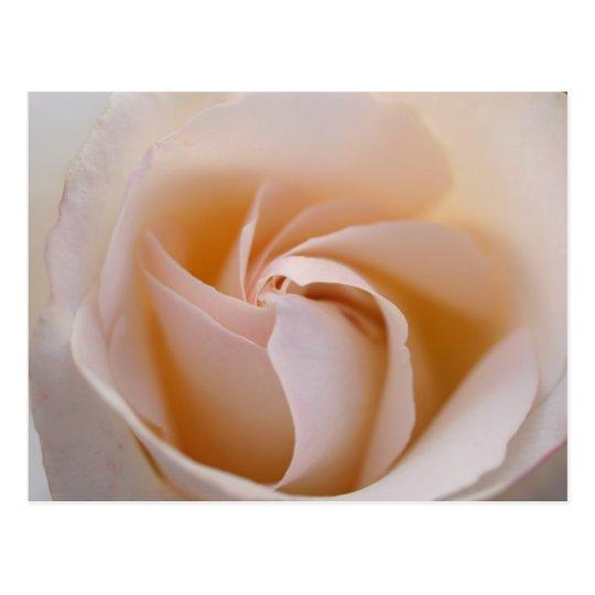 Postal Rosa blanca