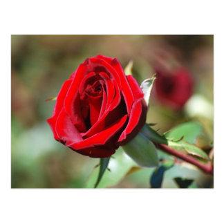 Postal Rosa de té rojo