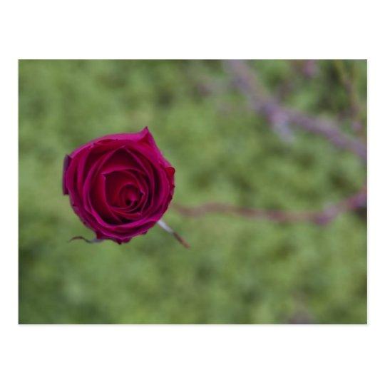 Postal Rosa en el rosal