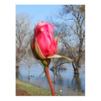 Postal Rosa rojo