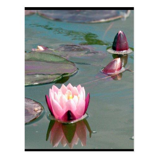 Postal rosada bonita de Waterlily