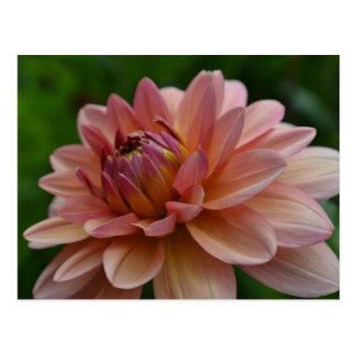 Postal rosada de la flor de la dalia