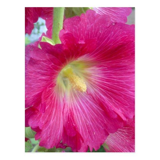 Postal rosada de la flor del Hollyhock